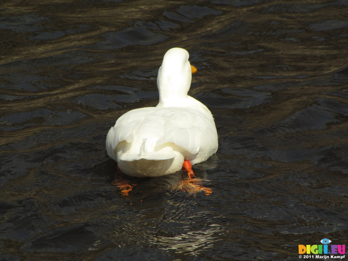 Picture SX17950 White duck swimming away | 20110402 ...