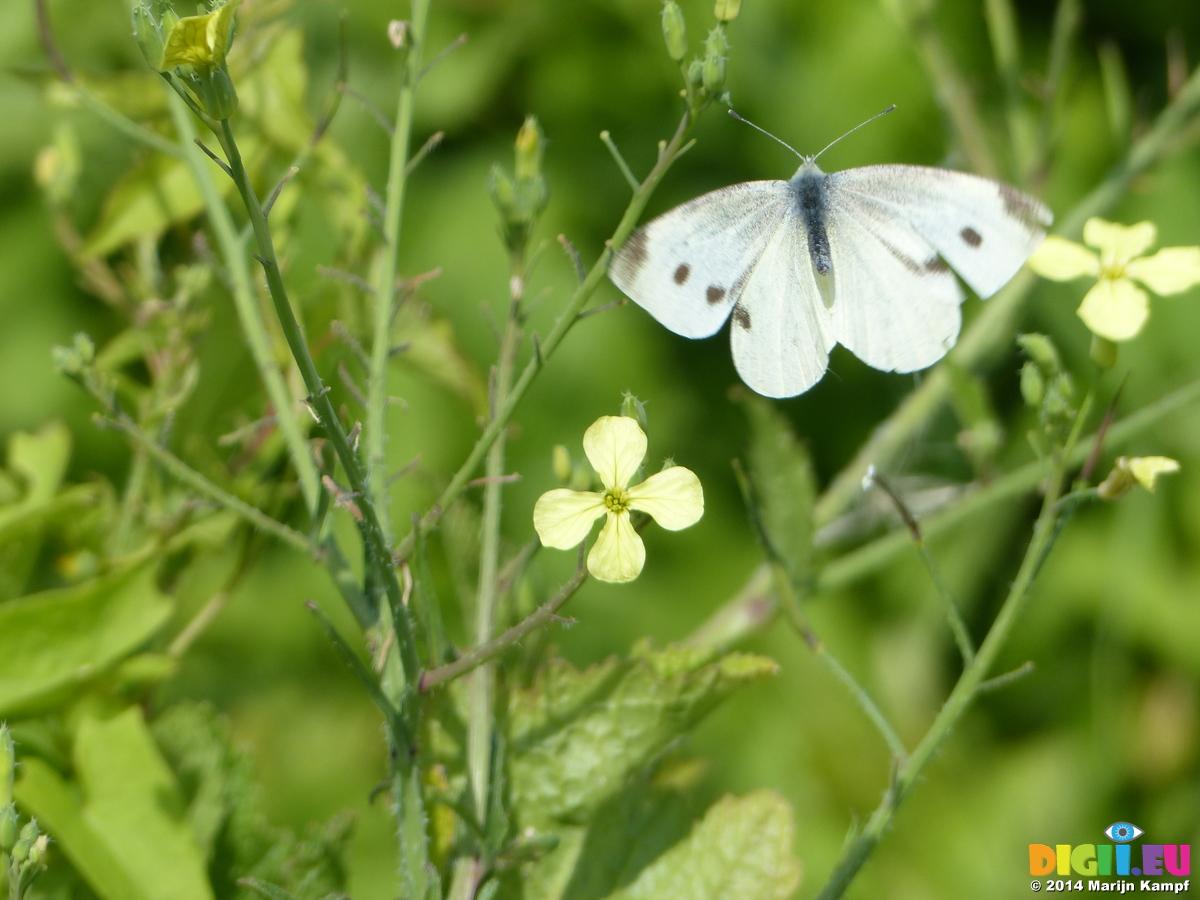 Pictures | 20140805 Butterflies near Llantwit Major beach ...