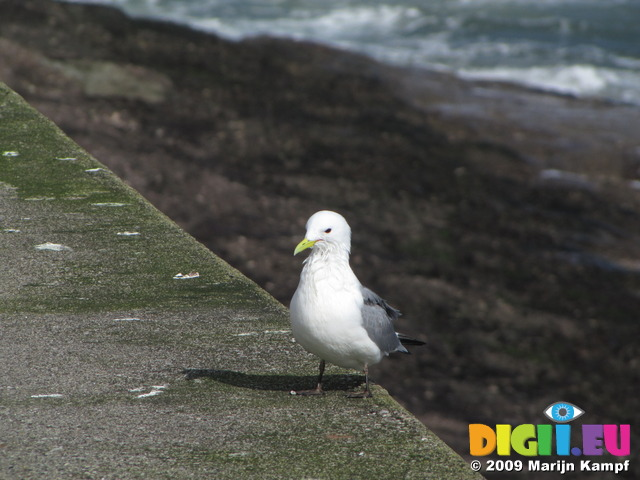 SX02974 Gull on Dunmore East harbour wall - Kittiwake (Rissa Tridactyla)