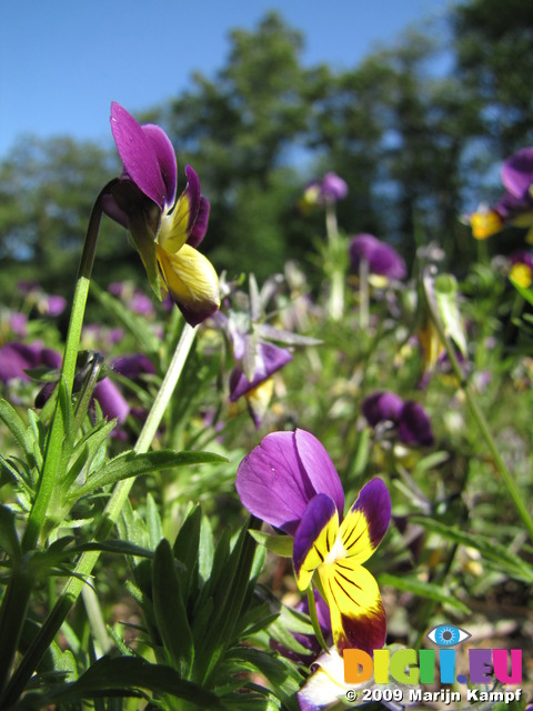 SX06271 Heartsease (Viola tricolor)