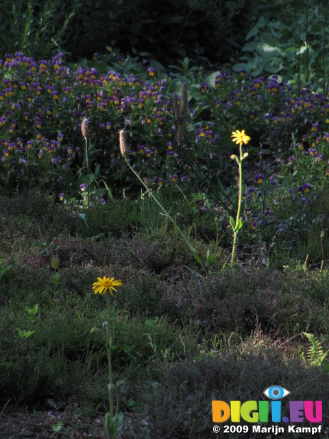 SX06353  Wolf's bane (Arnica montana) with Heartsease (Viola tricolor)