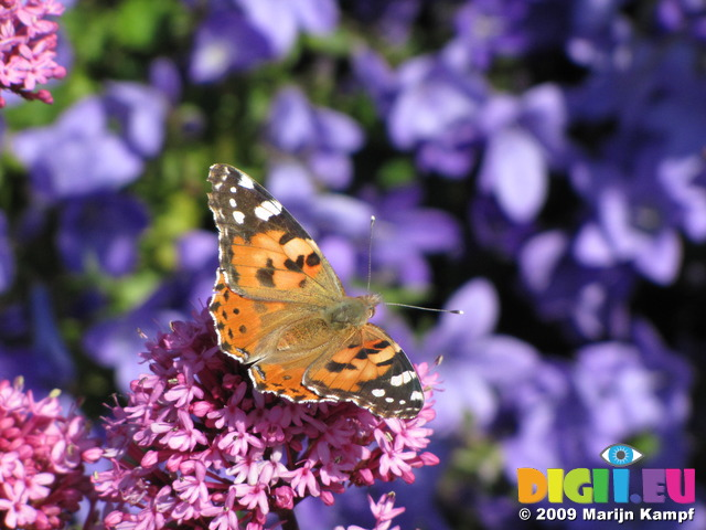SX06414 Painted lady butterfly (Cynthia cardui) on pink flower Red Valerian (Centranthus ruber)