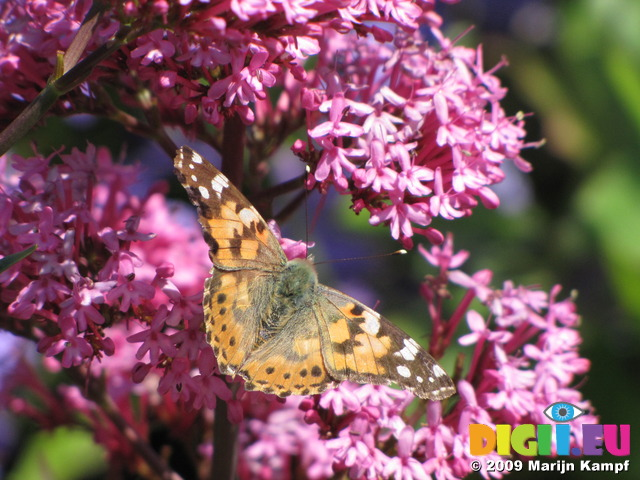 SX06467 Painted lady butterfly (Cynthia cardui) on pink flower Red Valerian (Centranthus ruber)