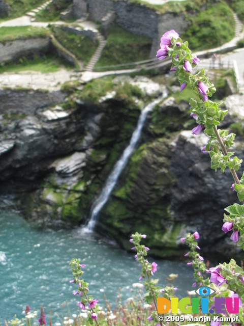 SX07247 Tree Mallow framing waterfall into Tintagel Haven (Lavatera arborea)