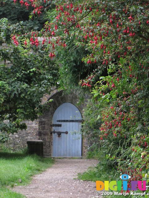 SX08056 Blue wooden door of Dunraven walled garden framed by red Fuchsia flowers (Fuchsia magellanica)