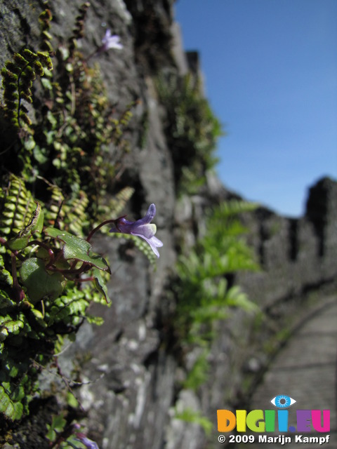 SX09291 Tiny flower of Ivy-leaved Toadflax (Cymbalaria muralis) on wall of Restomel Castle