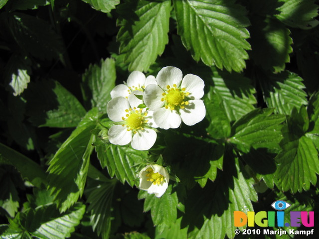 SX14190 Wild strawberry flowers (Fragaria vesca)
