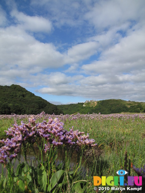 SX15887 Field of purple Common Sea-lavender (Limonium vulgare) at Pennard Castle, Three Cliffs Bay