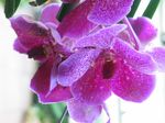 15430 Purple orchide.jpg