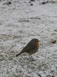 15747 Robin in the snow.jpg