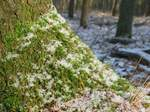 15763 Moss and snow on tree trunk.jpg