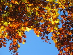 24322 Red and yellow leaves.jpg
