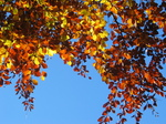 24323 Red and yellow leaves.jpg