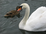 24728 Swan and Duck.jpg