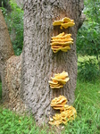 28111 Big Yellow Mushrooms on Tree - Sulfur Shelf (Laetiporus sulphureus).jpg