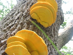 28116 Big Yellow Mushrooms on Tree - Sulfur Shelf (Laetiporus sulphureus).jpg