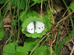 28127 Butterfly Small Cabbage White (Pieris rapae).jpg