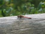 28154 Red Dragonfly on tree Common Darter (Sympetrum striolatum).jpg