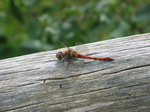 28155 Red Dragonfly on tree Common Darter (Sympetrum striolatum).jpg