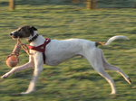 SX00979 Henry the dog running with catch.jpg