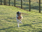 SX00981 Henry the dog running with catch.jpg