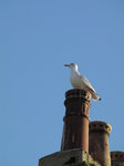 SX00997 Seagull on chimney bath.jpg