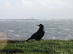 SX01314 Rook with Hook Head Lighthouse in background.jpg