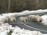 SX02520 Sheep on snowy road.jpg