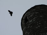 SX02689 Rook flying from Glendalough Round Tower.jpg