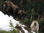 SX02754 Wild goats in snow at Glendalough.jpg