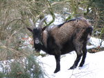 SX02762 Wild goat in snow at Glendalough.jpg