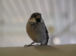 SX02911 Little birdie in Schiphol airport - House Sparrow (Passer Domesticus).jpg
