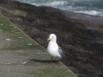 SX02974 Gull on Dunmore East harbour wall - Kittiwake (Rissa Tridactyla).jpg