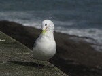 SX02978 Gull on Dunmore East harbour wall - Kittiwake (Rissa Tridactyla).jpg