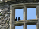 SX03164 Pair of black birds (Jackdaws - Corvus Monedula) in Carew castle window.jpg