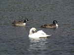 SX03583 Mute swan (Cygnus Olor) and two Canada geese (Branta Canadensis).jpg
