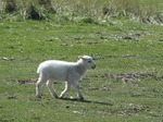 SX03591 Little white lamb.jpg