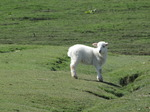 SX03595 Little wooly lamb looking around.jpg