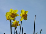 SX03619 Backlit Daffodils against blue sky (Narcissus Obvallaris).jpg