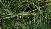 SX04383 Green lizard Female Common or Viviparous Lizard (Lacerta vivipara).jpg