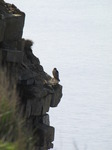 SX05132 Bird of pray Peregrine (Falco peregrinus) perched on rock Bird of pray perching on edge of cliff.jpg