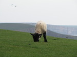 SX05247 Little lamb grazing on cliffs by Southerndown.jpg
