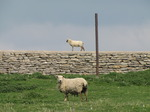 SX05253 Sheep in field and lamb walking over stone boundary wall.jpg