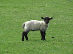 SX05269 Little black and white lamb.jpg