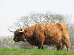 SX05291 Scottish highland cattle.jpg