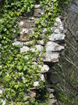 SX05337 Ivy on  Candleston Castle wall.jpg