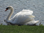 SX05341 Swan at rivers edge.jpg