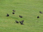 SX05850 Flock of Starlings grazing for food from grass (Sturnus vulgaris).jpg