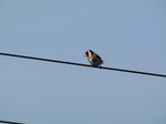 SX05894 Goldfinch on wire (Carduelis carduelis).jpg