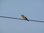 20090511 Goldfinch on wire (Carduelis carduelis)